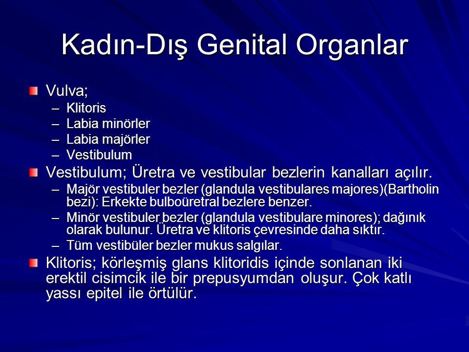 Kadın-Dış Genital Organlar