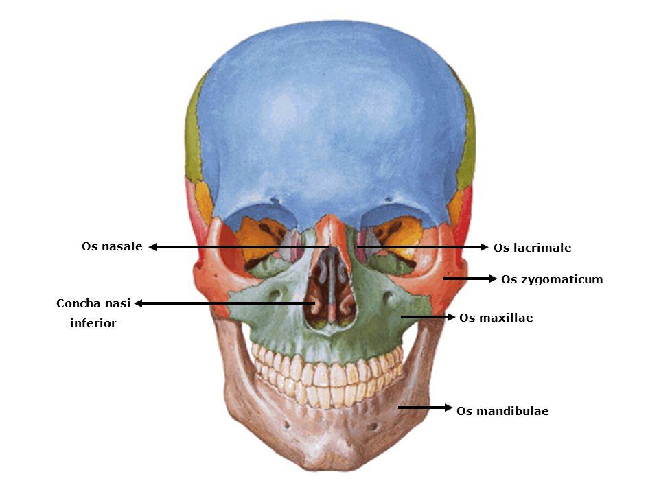 www.slaytyerim.com Os nasale Os lacrimale Os zygomaticum Concha nasi