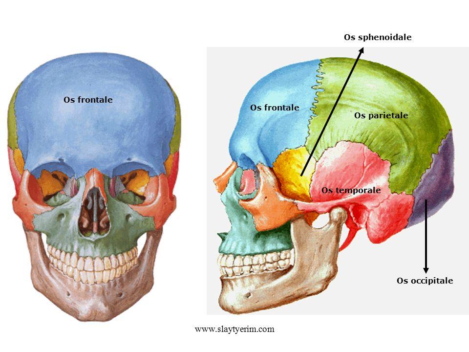 www.slaytyerim.com Os sphenoidale Os frontale Os frontale Os parietale