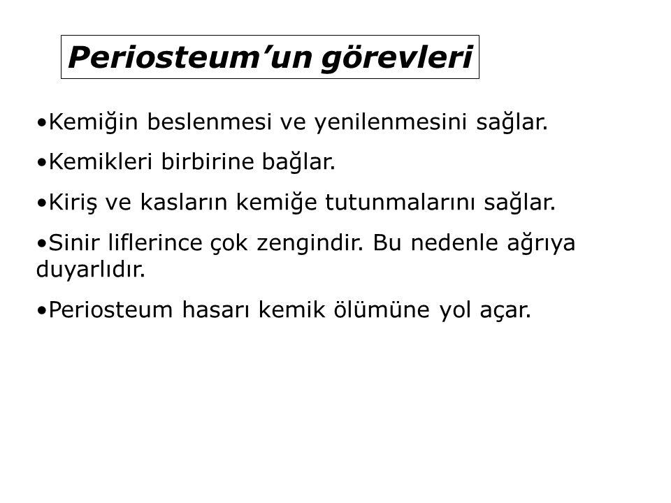 Periosteum'un görevleri