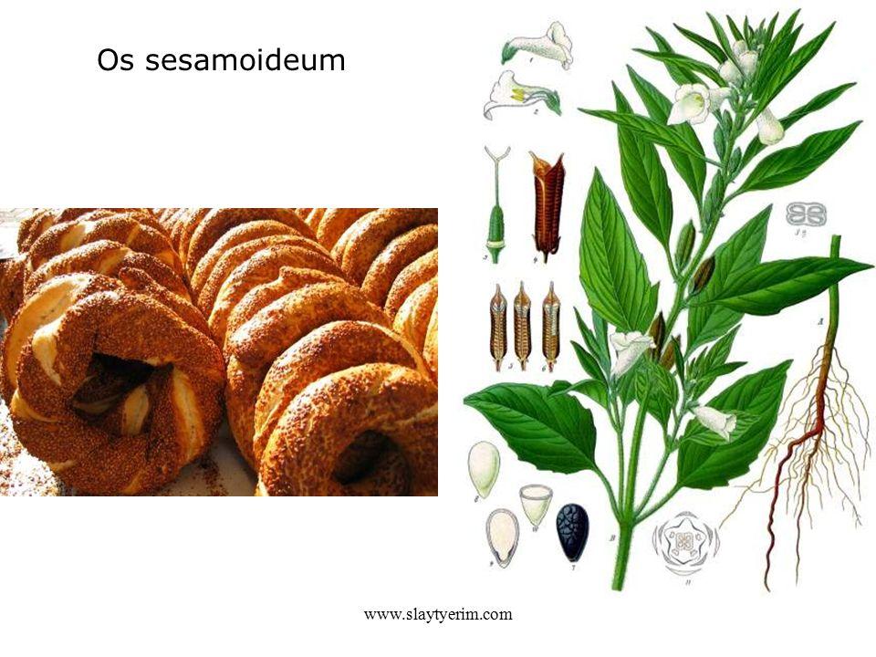 Os sesamoideum www.slaytyerim.com