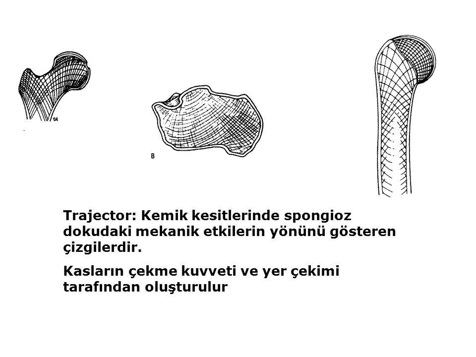 Trajector: Kemik kesitlerinde spongioz dokudaki mekanik etkilerin yönünü gösteren çizgilerdir.