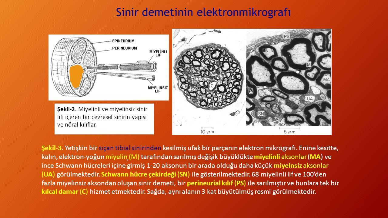 Sinir demetinin elektronmikrografı