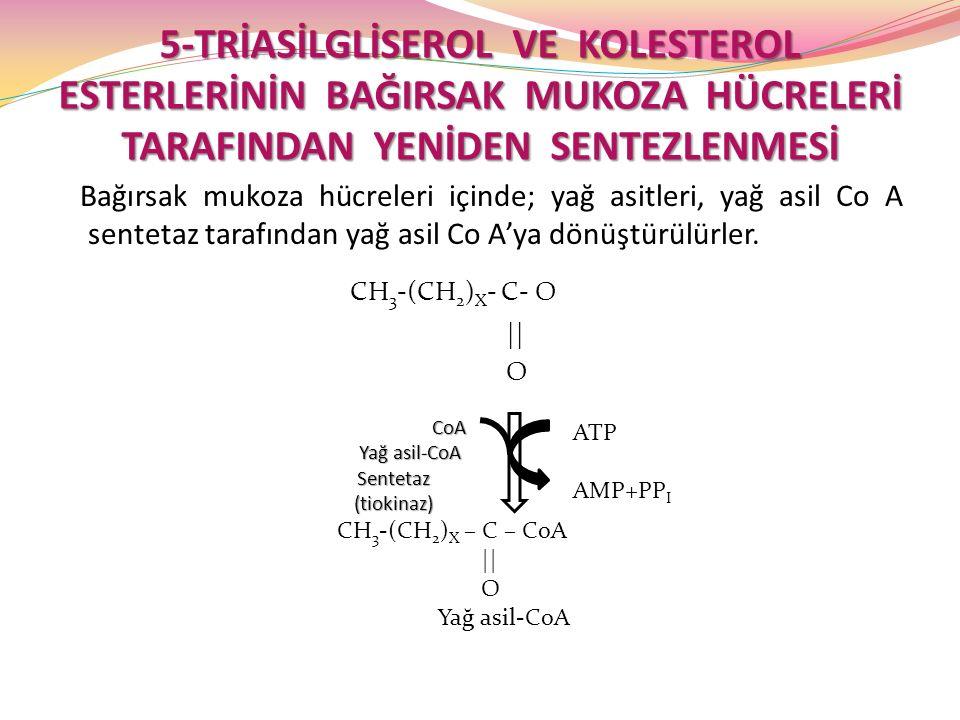 Yağ asil-CoA Sentetaz (tiokinaz)