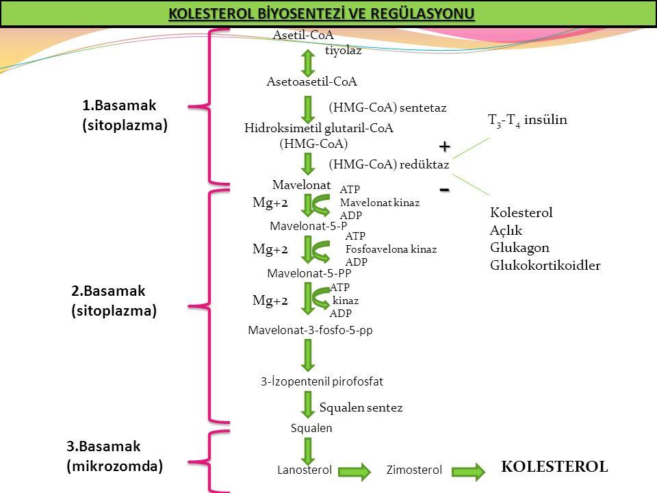 - + KOLESTEROL BİYOSENTEZİ VE REGÜLASYONU 1.Basamak (sitoplazma)