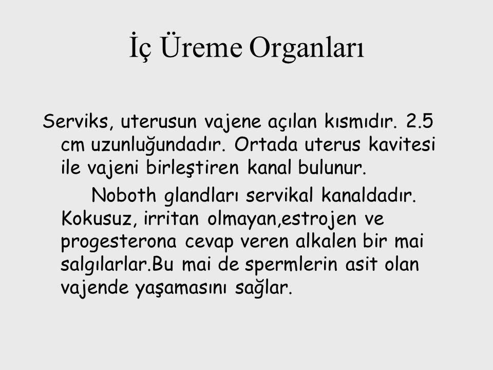 İç Üreme Organları Serviks, uterusun vajene açılan kısmıdır. 2.5 cm uzunluğundadır. Ortada uterus kavitesi ile vajeni birleştiren kanal bulunur.