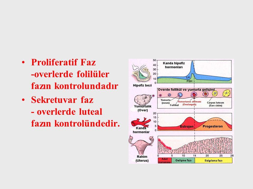 Proliferatif Faz -overlerde folilüler fazın kontrolundadır