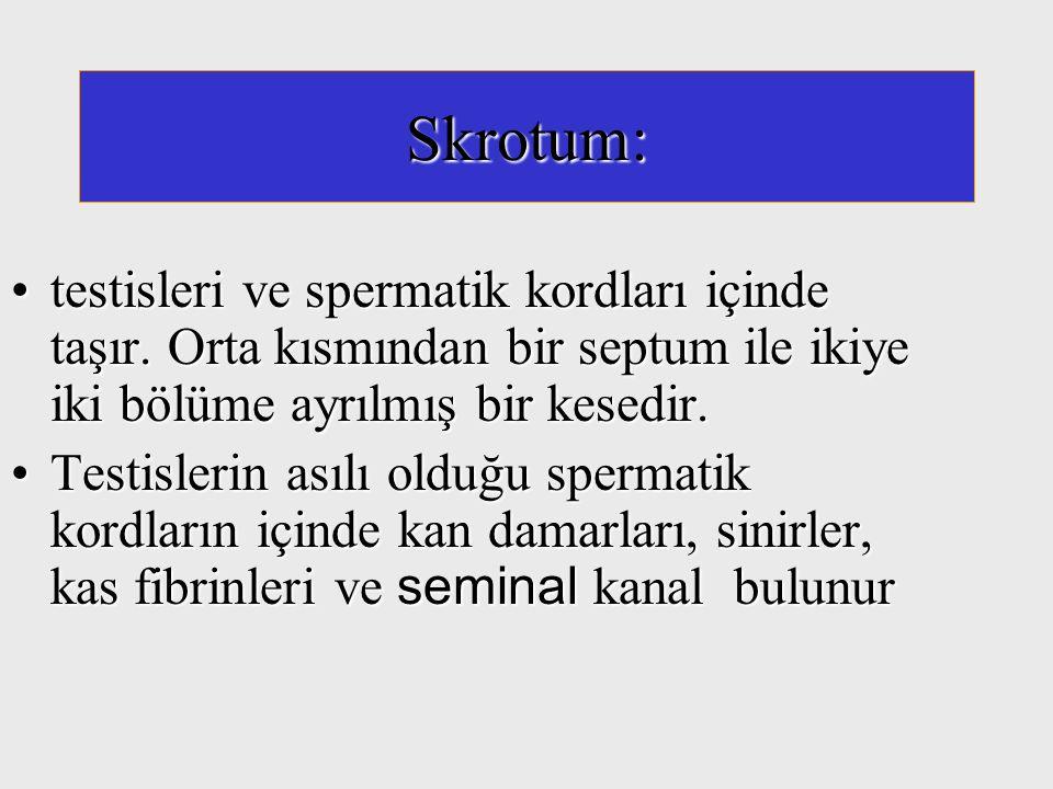 Skrotum: testisleri ve spermatik kordları içinde taşır. Orta kısmından bir septum ile ikiye iki bölüme ayrılmış bir kesedir.