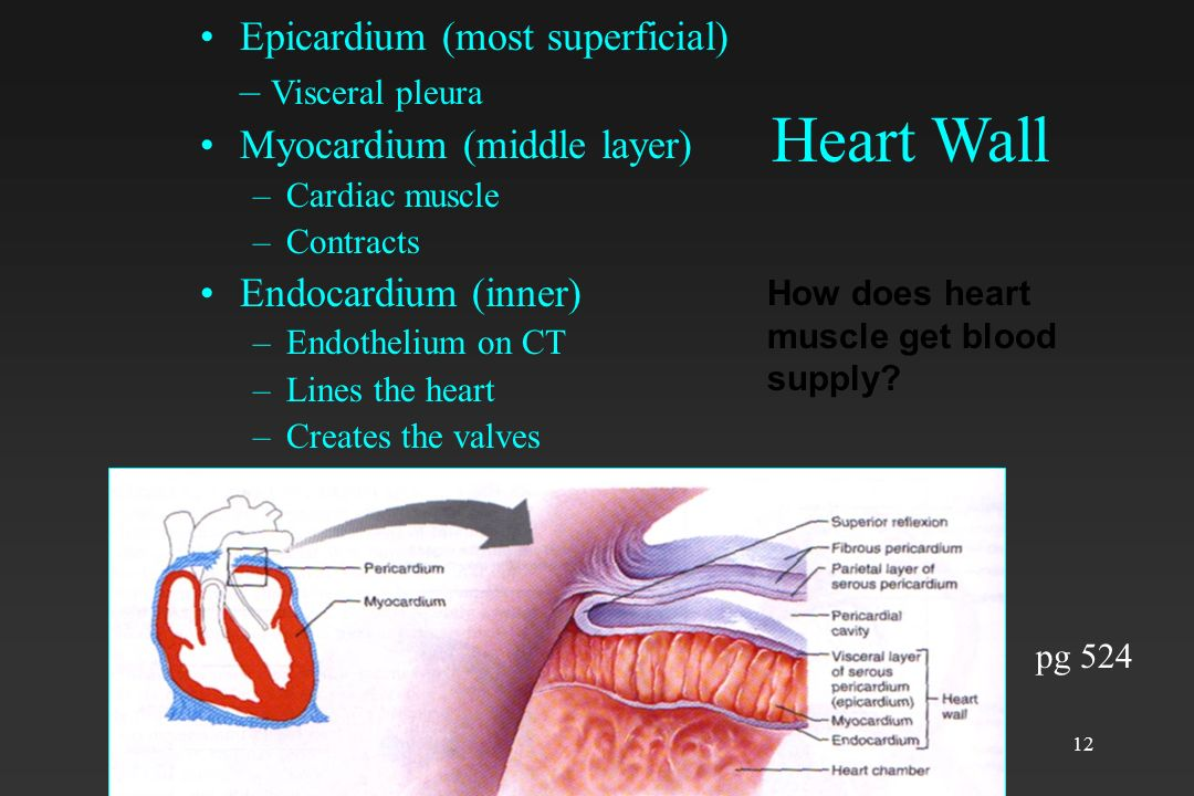 Heart Wall Epicardium (most superficial) – Visceral pleura
