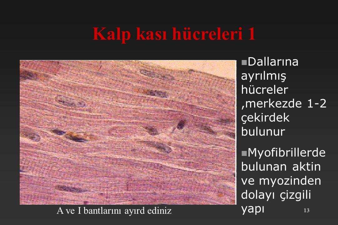 Kalp kası hücreleri 1 Dallarına ayrılmış hücreler ,merkezde 1-2 çekirdek bulunur. Myofibrillerde bulunan aktin ve myozinden dolayı çizgili yapı.
