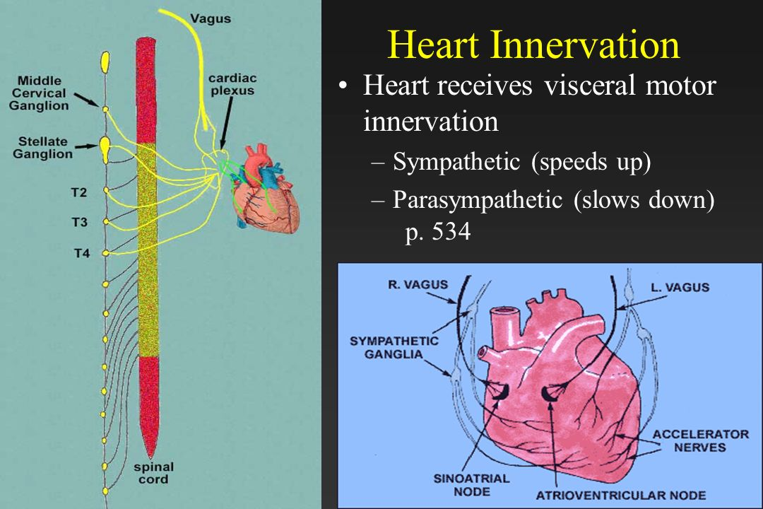 Heart Innervation Heart receives visceral motor innervation