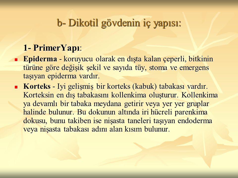 b- Dikotil gövdenin iç yapısı: