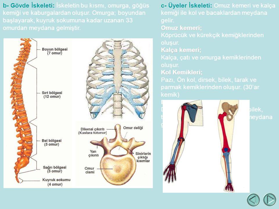 b- Gövde İskeleti: İskeletin bu kısmı, omurga, göğüs kemiği ve kaburgalardan oluşur. Omurga; boyundan başlayarak, kuyruk sokumuna kadar uzanan 33 omurdan meydana gelmiştir.