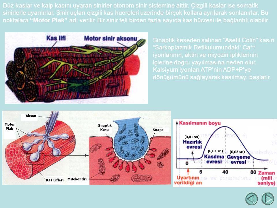 Düz kaslar ve kalp kasını uyaran sinirler otonom sinir sistemine aittir. Çizgili kaslar ise somatik sinirlerle uyarılırlar. Sinir uçları çizgili kas hücreleri üzerinde birçok kollara ayrılarak sonlanırlar. Bu noktalara Motor Plak adı verilir. Bir sinir teli birden fazla sayıda kas hücresi ile bağlantılı olabilir.