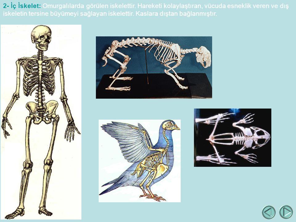 2- İç İskelet: Omurgalılarda görülen iskelettir