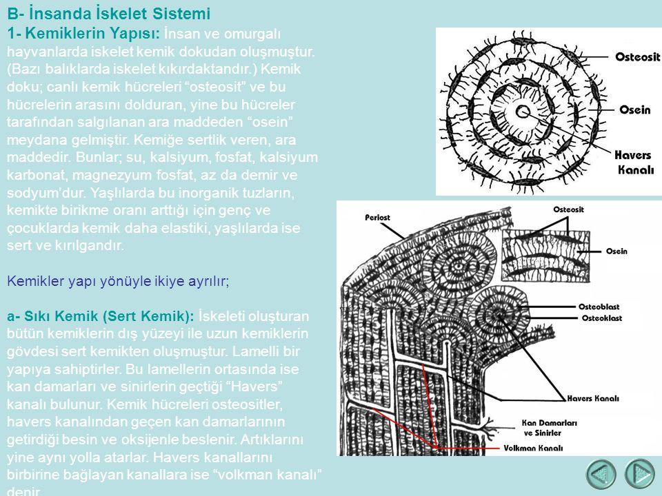 B- İnsanda İskelet Sistemi