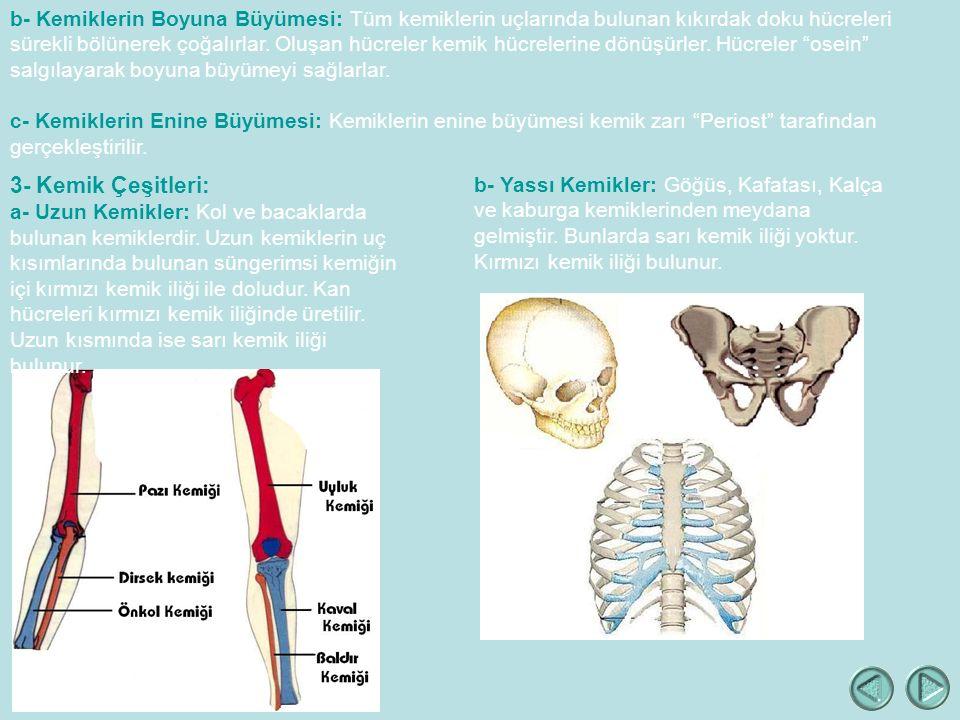 b- Kemiklerin Boyuna Büyümesi: Tüm kemiklerin uçlarında bulunan kıkırdak doku hücreleri sürekli bölünerek çoğalırlar. Oluşan hücreler kemik hücrelerine dönüşürler. Hücreler osein salgılayarak boyuna büyümeyi sağlarlar.