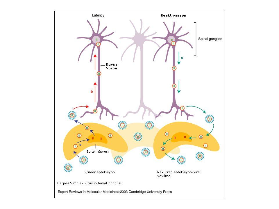 Primer enfeksiyon sırasında mukozadan girer epitel içinde çoğalır, kısa süreli viremi yapar ve genelde lokaldir
