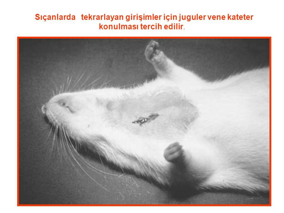 Sıçanlarda tekrarlayan girişimler için juguler vene kateter konulması tercih edilir.
