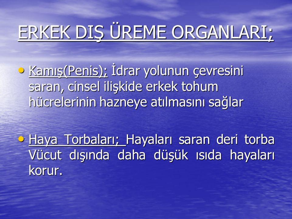 ERKEK DIŞ ÜREME ORGANLARI;