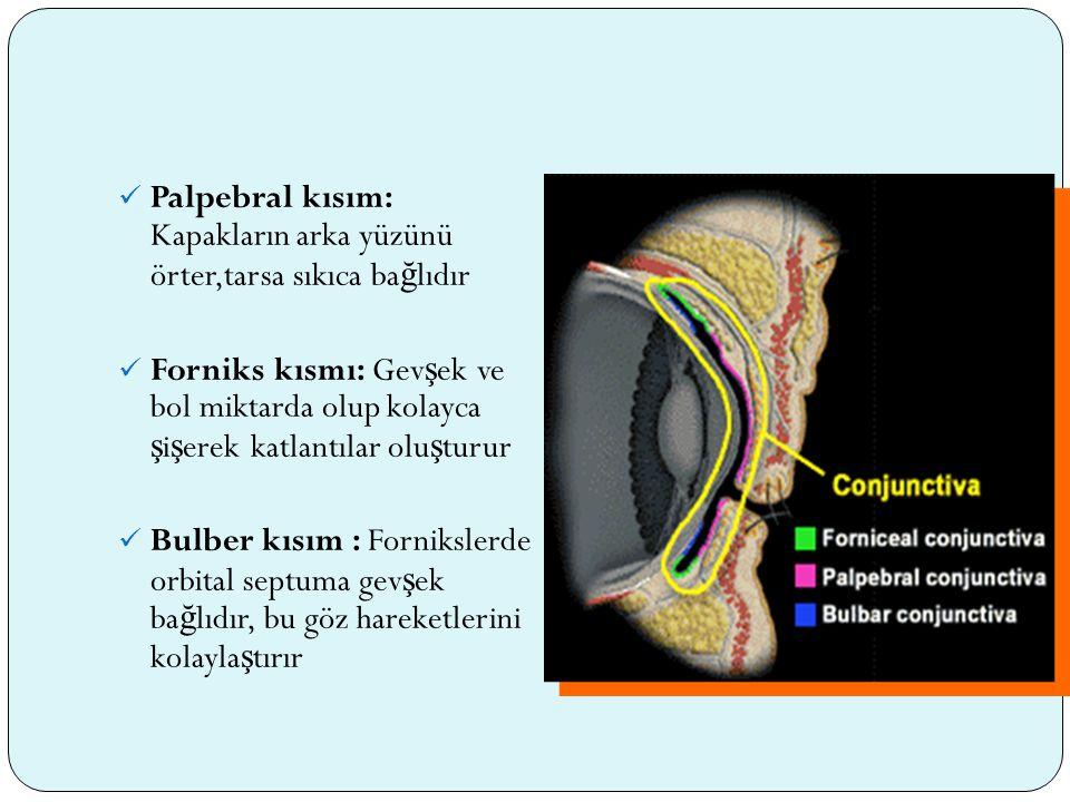 Palpebral kısım: Kapakların arka yüzünü örter,tarsa sıkıca bağlıdır