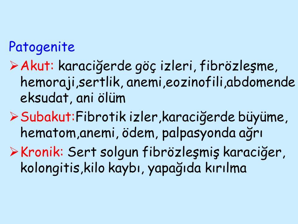 Patogenite Akut: karaciğerde göç izleri, fibrözleşme, hemoraji,sertlik, anemi,eozinofili,abdomende eksudat, ani ölüm.