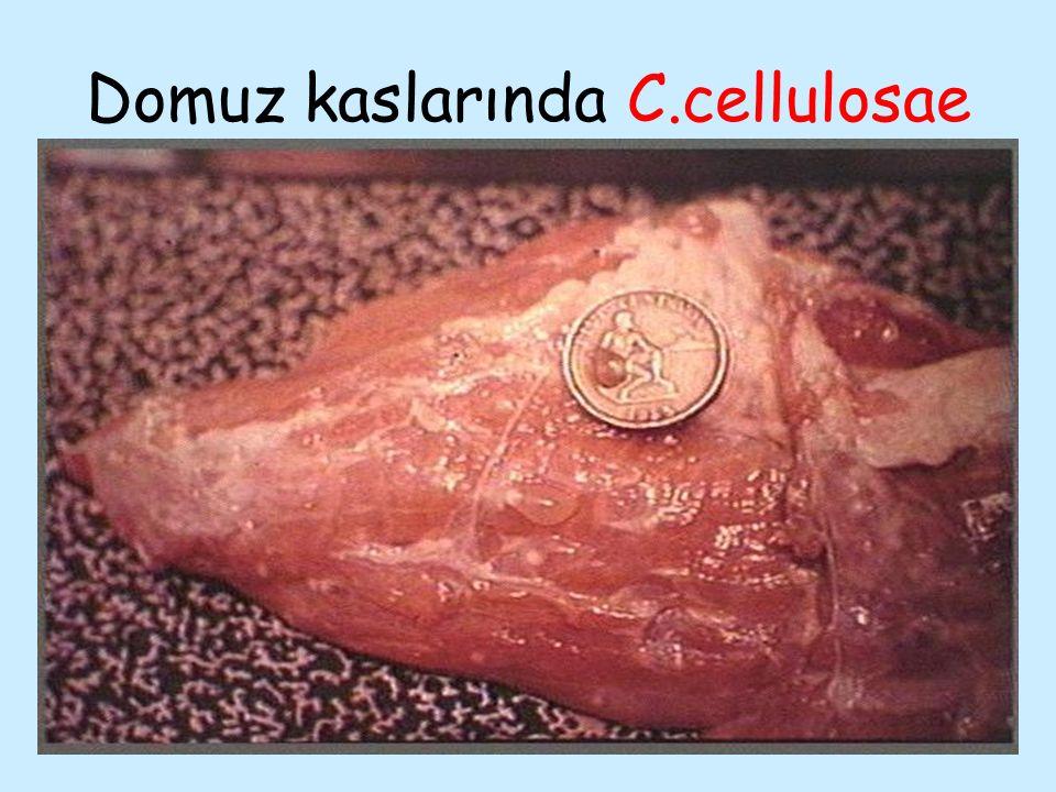 Domuz kaslarında C.cellulosae