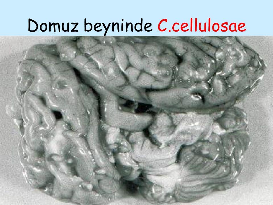 Domuz beyninde C.cellulosae