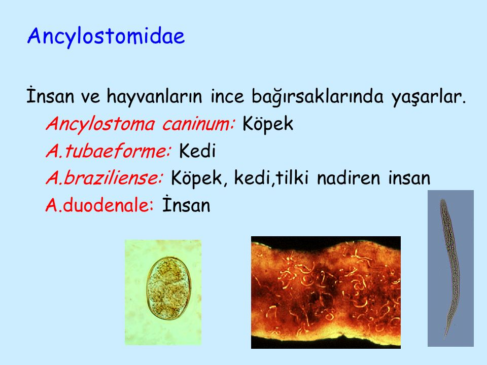Ancylostomidae İnsan ve hayvanların ince bağırsaklarında yaşarlar.
