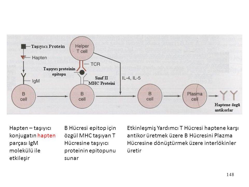 Hapten – taşıyıcı konjugatın hapten parçası IgM molekülü ile etkileşir