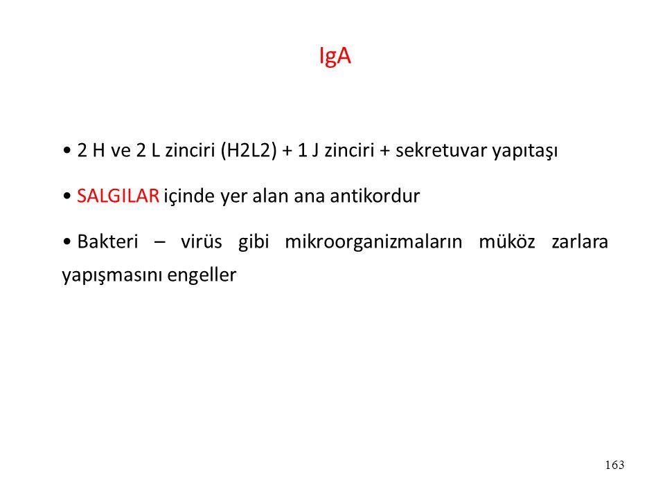 IgA 2 H ve 2 L zinciri (H2L2) + 1 J zinciri + sekretuvar yapıtaşı