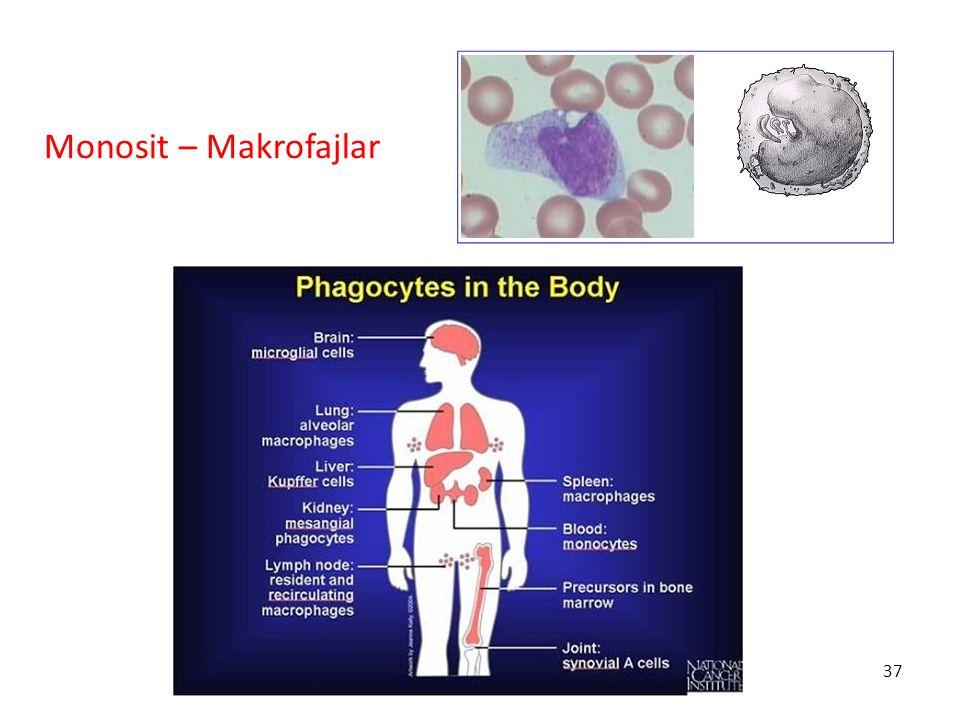 Monosit – Makrofajlar