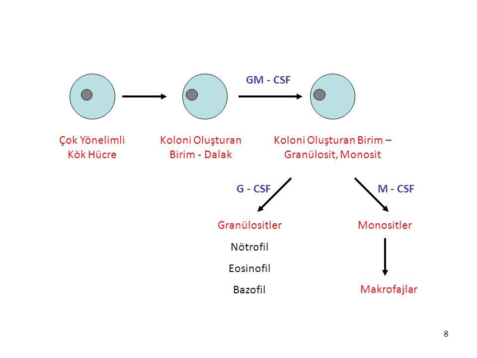 Çok Yönelimli Kök Hücre Koloni Oluşturan Birim - Dalak