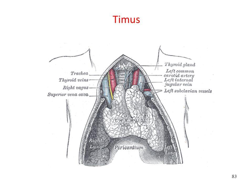 Timus Timus 3. ve 4. faringeal yarıktan oluşur (Timus ve paratiroid bez) Endodermal kökenli hücreler: epitelositler, epiteliyal retikülosit.