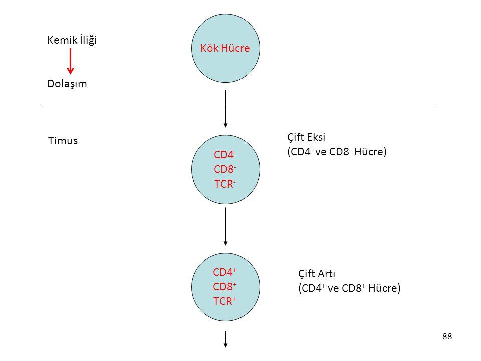 Kök Hücre Kemik İliği Dolaşım Çift Eksi Timus (CD4- ve CD8- Hücre)