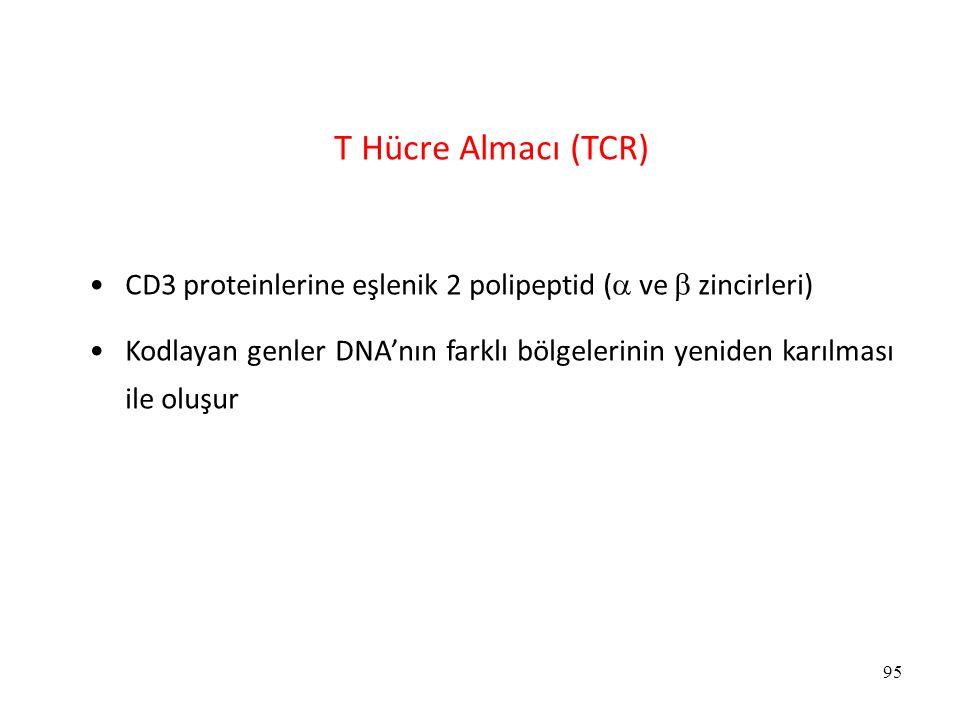 T Hücre Almacı (TCR) CD3 proteinlerine eşlenik 2 polipeptid ( ve  zincirleri)