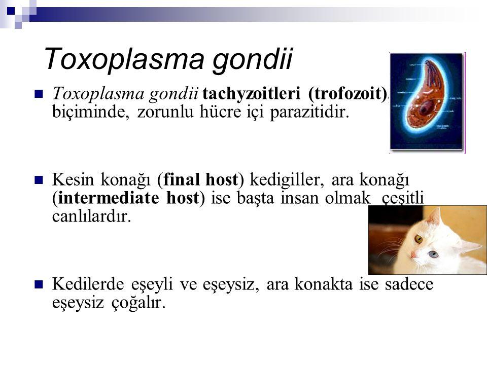 Toxoplasma gondii Toxoplasma gondii tachyzoitleri (trofozoit), yay biçiminde, zorunlu hücre içi parazitidir.