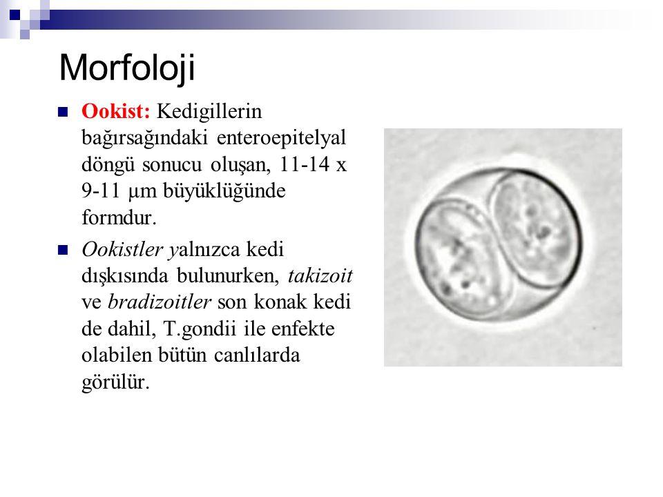 Morfoloji Ookist: Kedigillerin bağırsağındaki enteroepitelyal döngü sonucu oluşan, 11-14 x 9-11 µm büyüklüğünde formdur.
