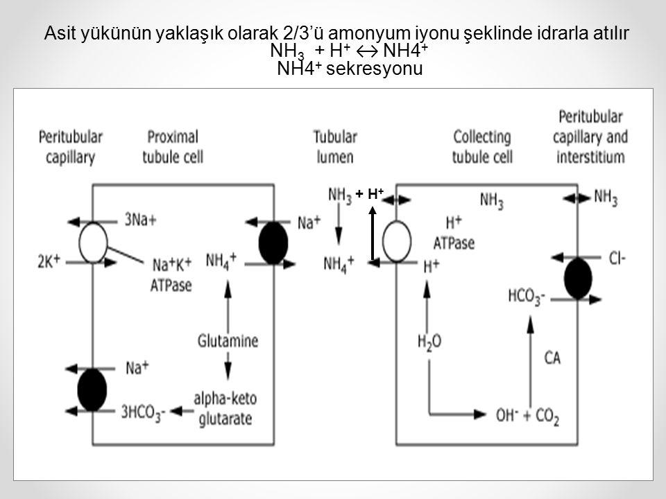 Asit yükünün yaklaşık olarak 2/3'ü amonyum iyonu şeklinde idrarla atılır NH3 + H+ ↔ NH4+ NH4+ sekresyonu