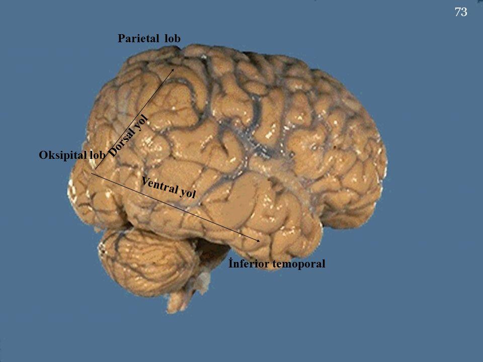 Parietal lob Dorsal yol Oksipital lob Ventral yol İnferior temoporal