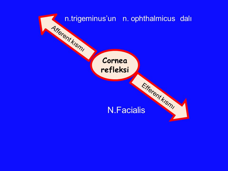 N.Facialis n.trigeminus'un n. ophthalmicus dalı Cornea refleksi