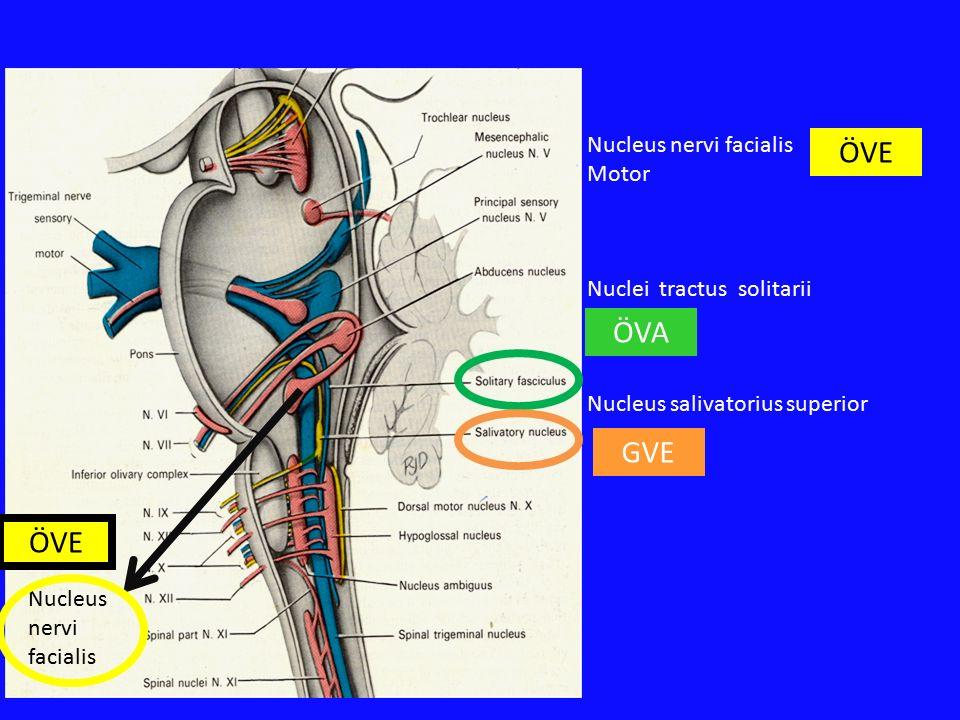 ÖVE ÖVA GVE ÖVE Nucleus nervi facialis Motor Nuclei tractus solitarii