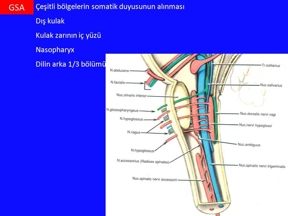 GSA Çeşitli bölgelerin somatik duyusunun alınması Dış kulak