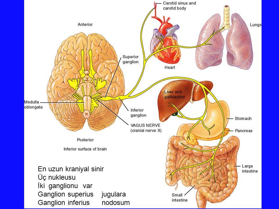 En uzun kraniyal sinir Üç nukleusu. İki ganglionu var.