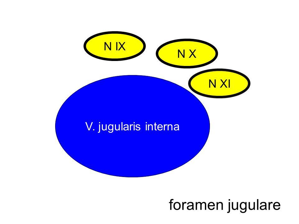 foramen jugulare N IX N X N XI V. jugularis interna