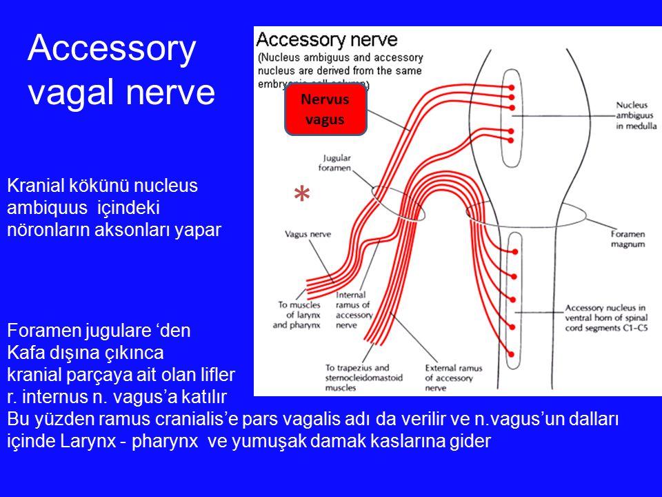 * Accessory vagal nerve Kranial kökünü nucleus