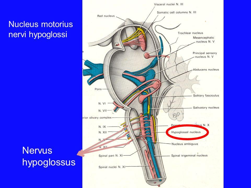 Nucleus motorius nervi hypoglossi Nervus hypoglossus