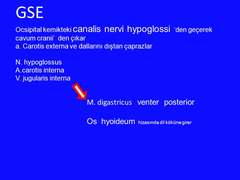 GSE M. digastricus venter posterior