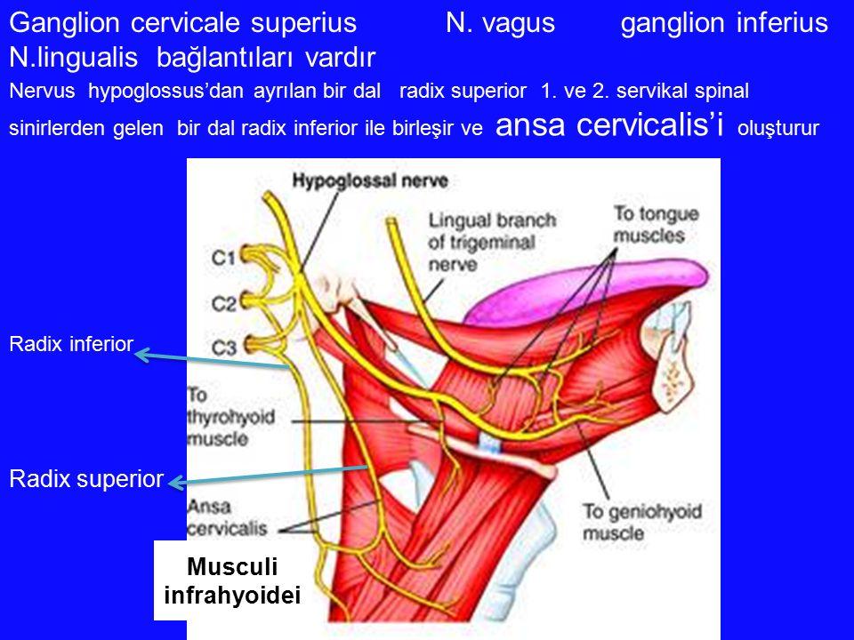 Ganglion cervicale superius N. vagus ganglion inferius N