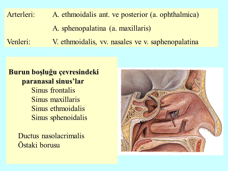 Arterleri: A. ethmoidalis ant. ve posterior (a. ophthalmica)